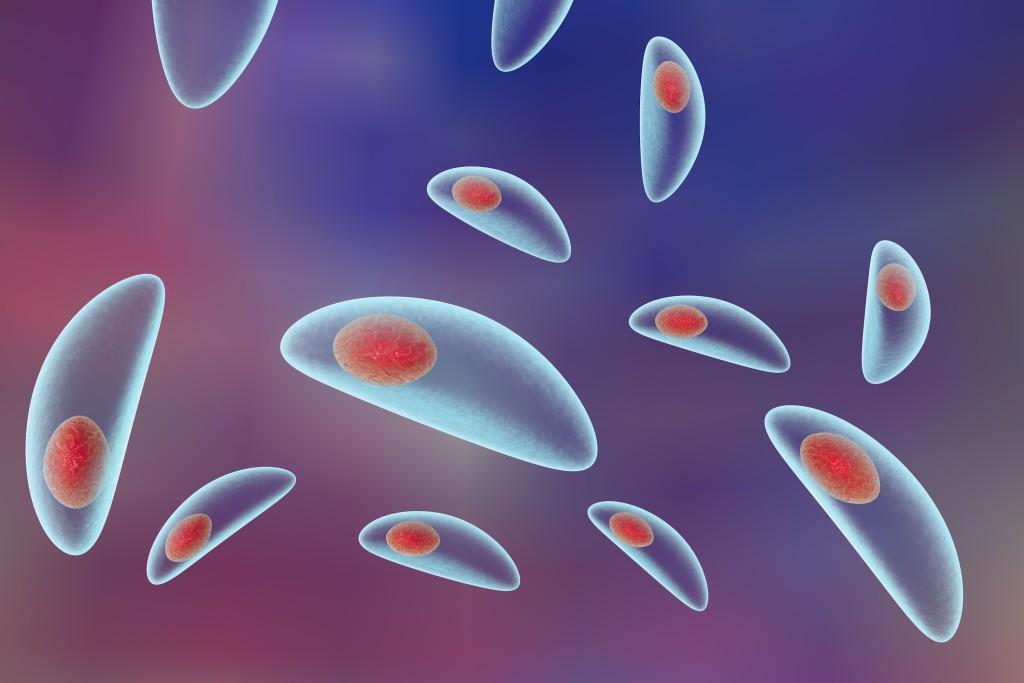 Toxoplasmose : comment le système immunitaire nous défend-il ?