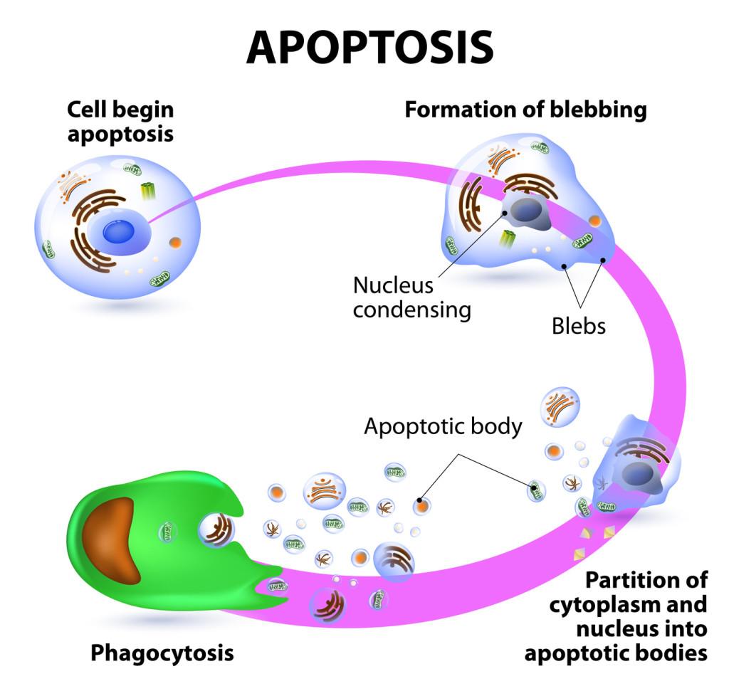 Apoptose ou mort cellulaire programmée